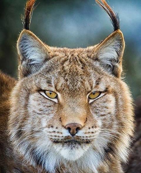 sauvons le lynx pardelle chatnine. Black Bedroom Furniture Sets. Home Design Ideas