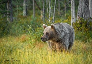 ursule